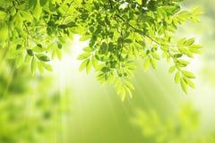 Grön leaframbakgrund Royaltyfria Foton