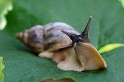 grön leafsnail Fotografering för Bildbyråer