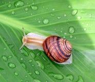 grön leafsnail Royaltyfri Foto