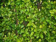 grön leafstextur Fotografering för Bildbyråer