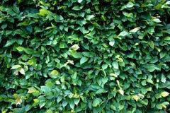 grön leafstextur Royaltyfri Foto