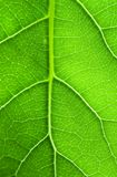 grön leafstruktur Royaltyfri Bild