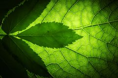 grön leaftextur Royaltyfri Fotografi