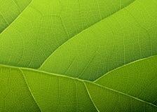 Grön leaftextur. Royaltyfria Bilder