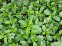 grön leaftextur Arkivfoton
