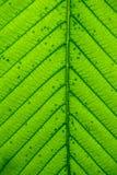 grön leaftextur för bakgrund Royaltyfria Foton