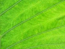 grön leaftextur för bakgrund Royaltyfri Foto
