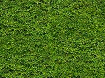 grön leafvägg Naturliga nya sidor bakgrund och textur Royaltyfria Bilder