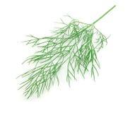 grön leafwhite för fennel fotografering för bildbyråer