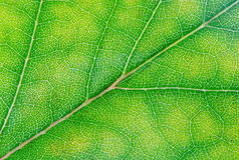 grön leave Royaltyfri Fotografi