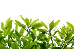 grön leave Royaltyfria Bilder