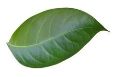 grön leave Royaltyfri Bild