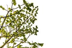 Grön leave på vit bakgrund royaltyfria foton