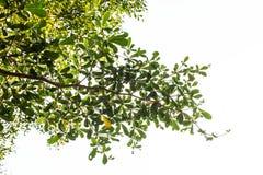 Grön leave på vit bakgrund royaltyfri foto