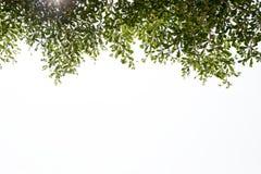 Grön leave på vit bakgrund royaltyfri bild