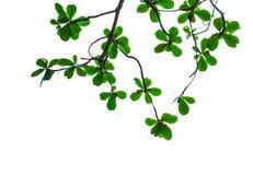 Grön leave på vit bakgrund Royaltyfria Bilder