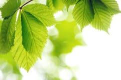 grön leavesfjäder Arkivfoton