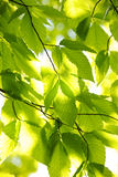 grön leavesfjäder Royaltyfri Foto