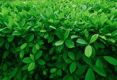 grön leavetextur Fotografering för Bildbyråer
