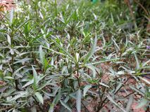 Grön leefy växtcloseup fotografering för bildbyråer