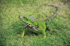 grön leguan Royaltyfria Bilder