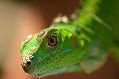 grön leguan Fotografering för Bildbyråer