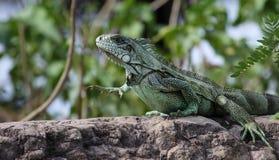 Grön leguan i Pantanalen, Brasilien Arkivbilder