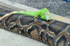 Grön leguan på en orm Royaltyfria Bilder
