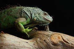 Grön leguan på filial Arkivfoto