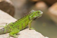 Grön leguan på hotellområde, Aruba Arkivbilder