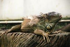 Grön leguan som fortfarande sitter på träplattan som böjer dess huvud Royaltyfria Foton
