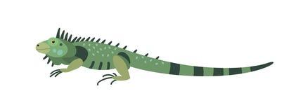 Grön leguan som isoleras på vit bakgrund Ursnyggt köttätande exotiskt djur Härlig lös rov- reptil eller royaltyfri illustrationer