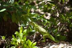 Grön leguan som vilar på en journal Royaltyfria Foton