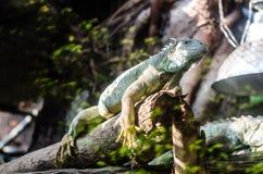 Grön leguan som vilar på en trädfilial Royaltyfri Foto