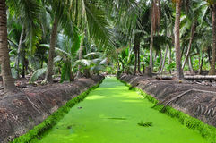 Grön Lemnaminderårig på avloppsrännan Arkivfoton