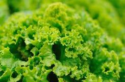 grön lettace Arkivbilder