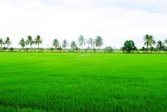 grön ligganderice för fält Royaltyfri Bild