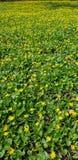 grön liggandeyellow Royaltyfri Bild