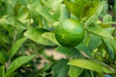 grön limefrukt Fotografering för Bildbyråer