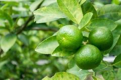 grön limefrukt Arkivfoton
