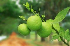 Grön limefruktfrukt fotografering för bildbyråer