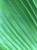 Grön linje modell av bladet Royaltyfria Bilder