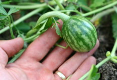 grön liten melon Arkivbilder