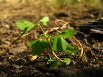 Grön liten växt Arkivfoto