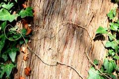Grön lockig murgröna på trädet under solljuset Royaltyfria Foton