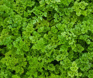 Grön lockig Parsley Royaltyfria Foton