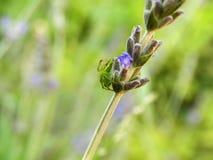 grön lodjurspindel Arkivfoton