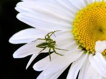 Grön lodjurspindel på den vita tusenskönan Royaltyfri Foto