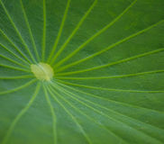Grön lotusblomma för blad Royaltyfri Foto