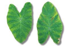 grön lotusblomma två Royaltyfri Foto